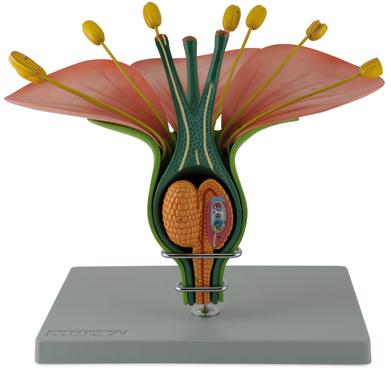 Модель цветка по биологии своими руками 6